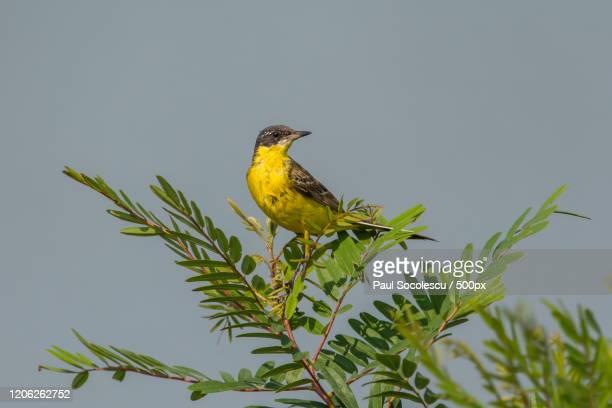 western yellow wagtail (motacilla flava) perching on thin tree branch - セキレイ ストックフォトと画像