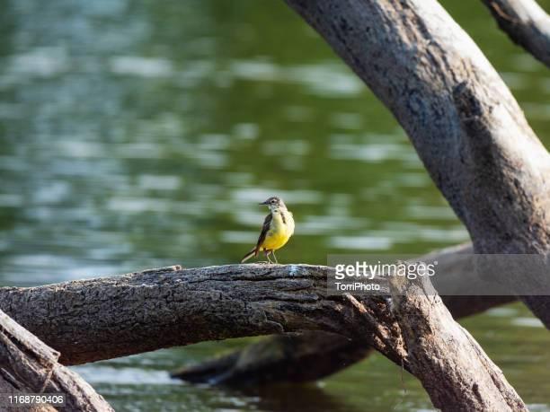 western yellow wagtail - セキレイ ストックフォトと画像