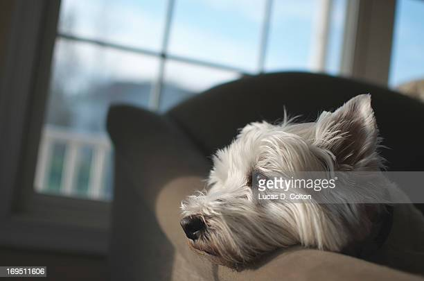 westie by the window - west highland white terrier stock photos and pictures