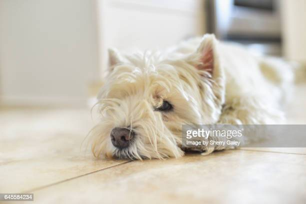 Westie lying on floor
