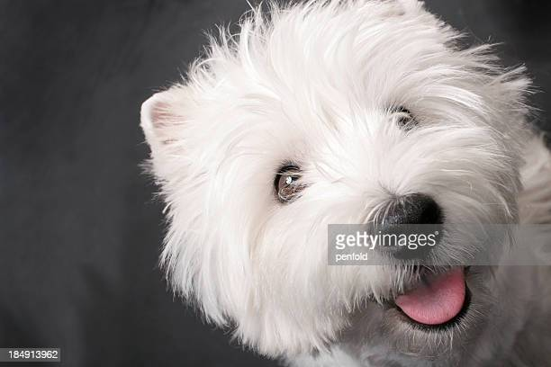 westie - west highland white terrier stock photos and pictures