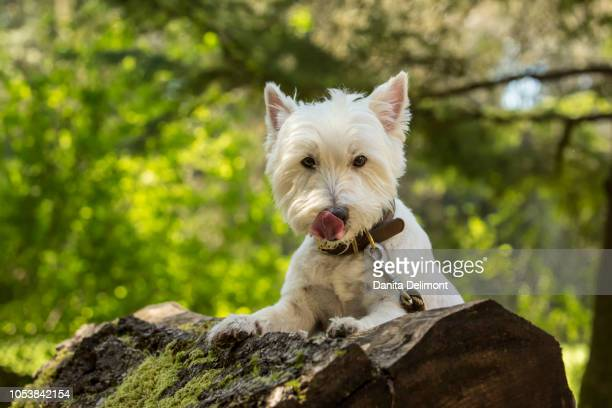 westie posing on large moss-covered fallen tree at park, issaquah, washington state, usa - west highland white terrier stock photos and pictures