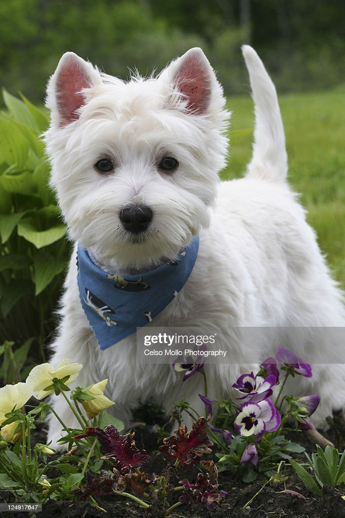 West Highland White Terrier Stock Photos and Pictures | Getty Images