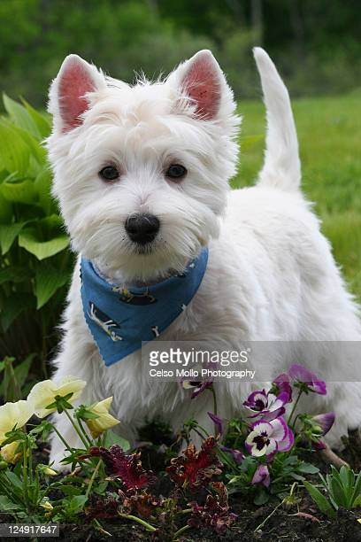 westie puppy in garden - west highland white terrier stock photos and pictures