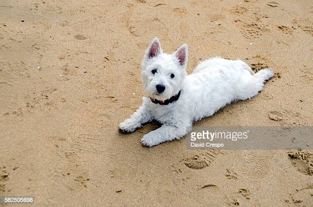 westie puppy - west highland white terrier stock photos and pictures