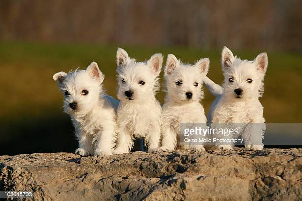 Westies on the Rock