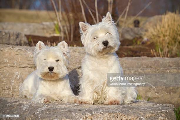 Westies puppies