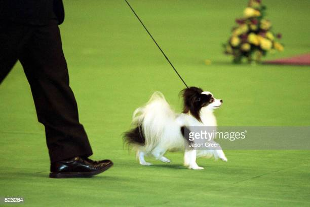 Westminister Kennel club dog Show winner of BestInShow Ch Loteki Supernatural Being or Kirby as he is known struts his stuff in the center ring at...