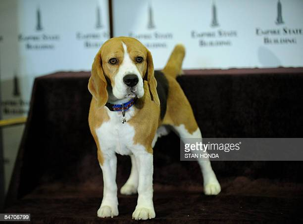 Westminster Kennel Club 2008 Best in Show Champion Uno, a beagle, poses before a lighting ceremony at the Empire State Building February 9, 2009 in...