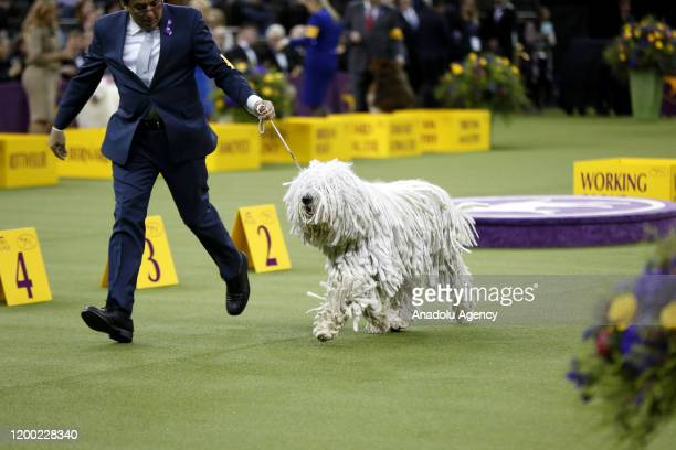 Westminster Kennel Club Dog Show held in New York City at the Madison Square Garden on February 11, 2020.