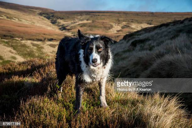 Wet and muddy Border Collie dog in a moorland landscape