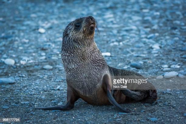 Wet Antarctic fur seal on stony beach