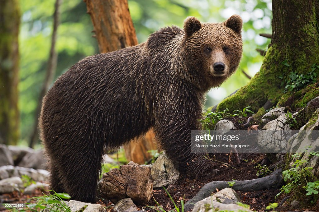 Wet bear in the forest : Stock Photo