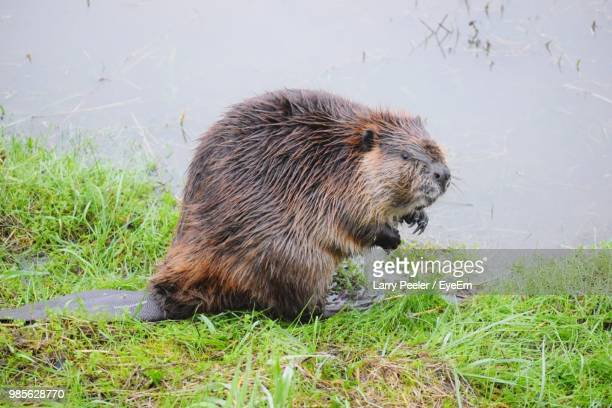 wet beaver at riverbank - beaver stock pictures, royalty-free photos & images