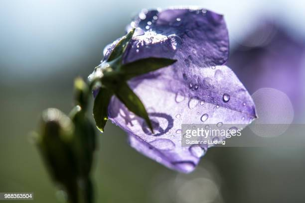 wet bellflower - susanne ludwig stock pictures, royalty-free photos & images