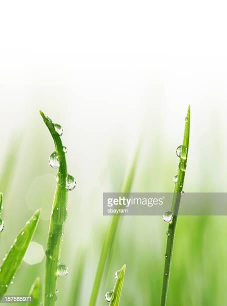 Wet blades of wheat gras