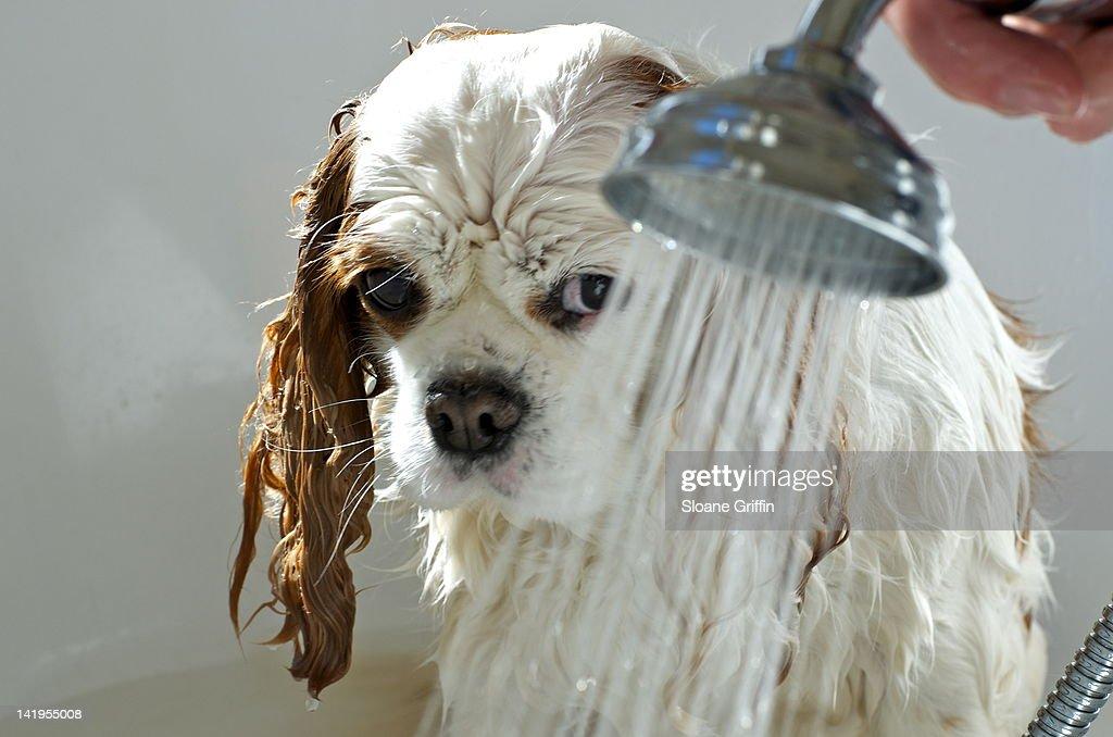 Wet Blenheim Cavalier King Charles Spaniel dog : Stock Photo