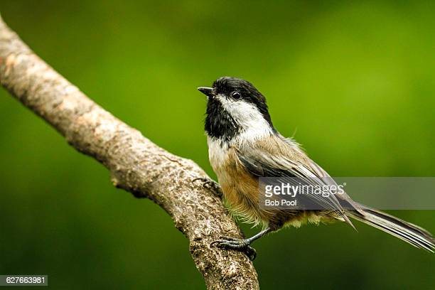 a wet chickadee with ruffled feathers - salem oregon stock pictures, royalty-free photos & images