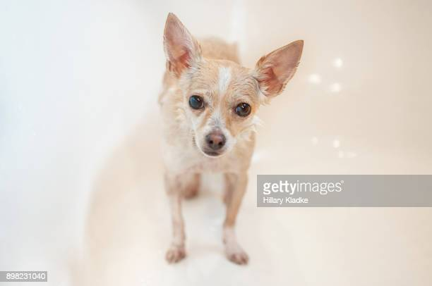 wet chihuahua in a bathtub - long haired chihuahua stock photos and pictures