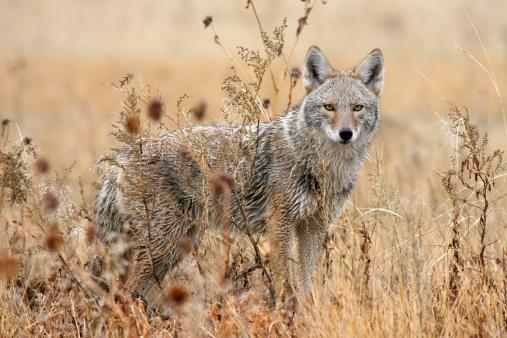 Wet coyote in wildlife refuge New Mexico 174939754