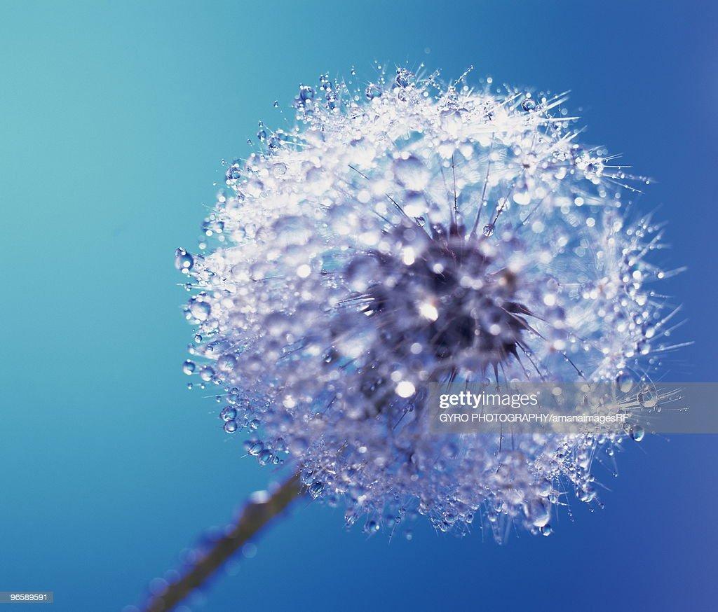 Wet Dandelion : Stock Photo