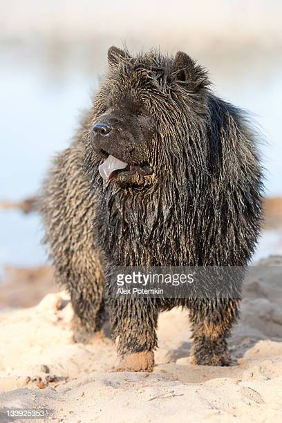 wet dirty black chow-chow - chow stock pictures, royalty-free photos & images