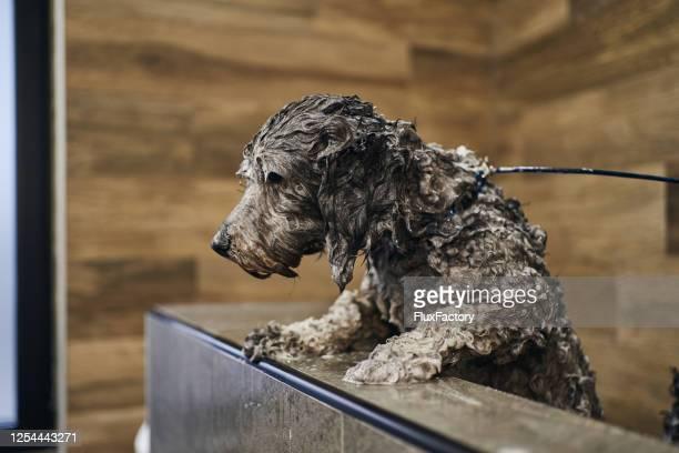 cane bagnato coperto di shampoo avendo un bagno - fuggire foto e immagini stock