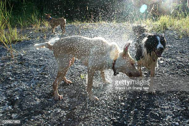 wet dog drying off - nee nee stock pictures, royalty-free photos & images