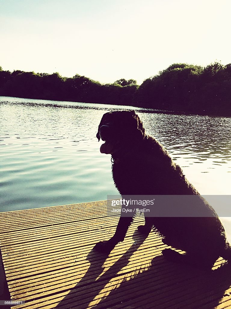 Wet Dog On Jetty By Lake Against Clear Sky : Stock Photo
