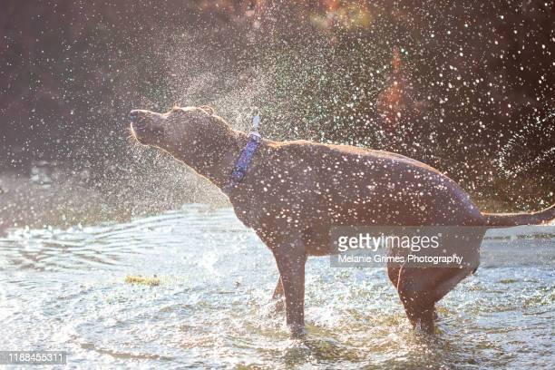 wet dog shake - shaking stock pictures, royalty-free photos & images