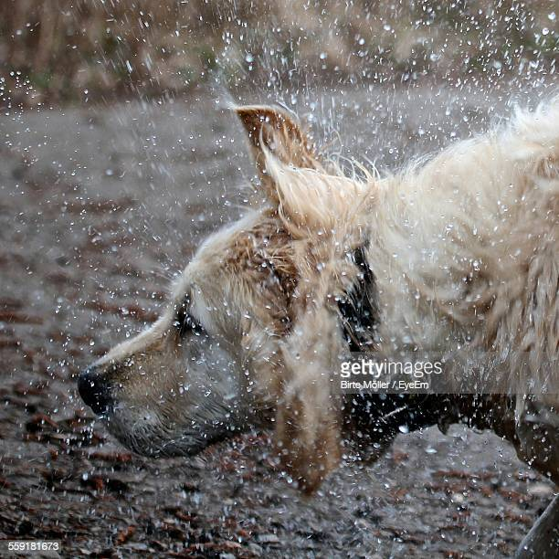 Wet Dog Shaking Water From Hair