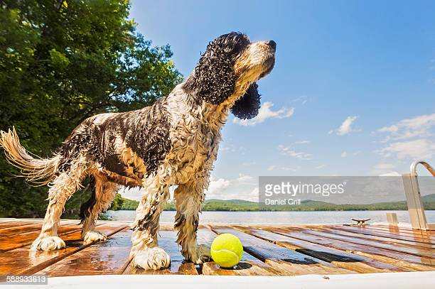 wet dog standing with ball on jetty - spaniel stock photos and pictures