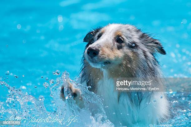 Wet Dog Swimming In Pool