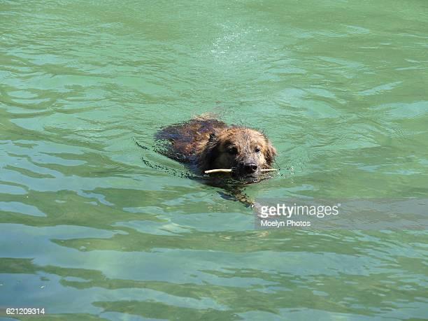 wet dog swimming with little stick - diablo lake fotografías e imágenes de stock