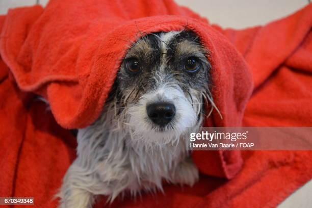 Wet dog wearing towel on head