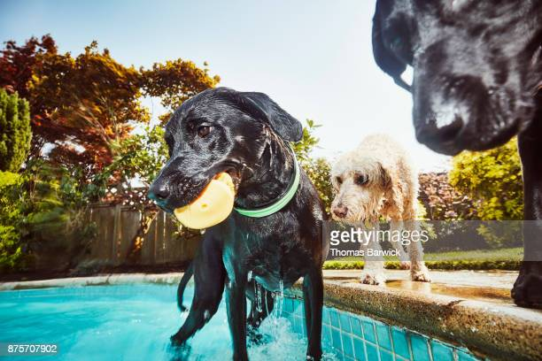 Wet dogs standing at side of backyard pool after swimming on summer afternoon