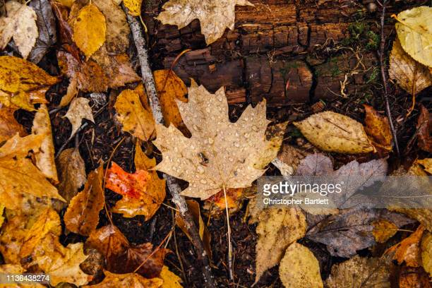wet fall leaves, raindrop covered leaves on forest floor - forest floor stock photos and pictures