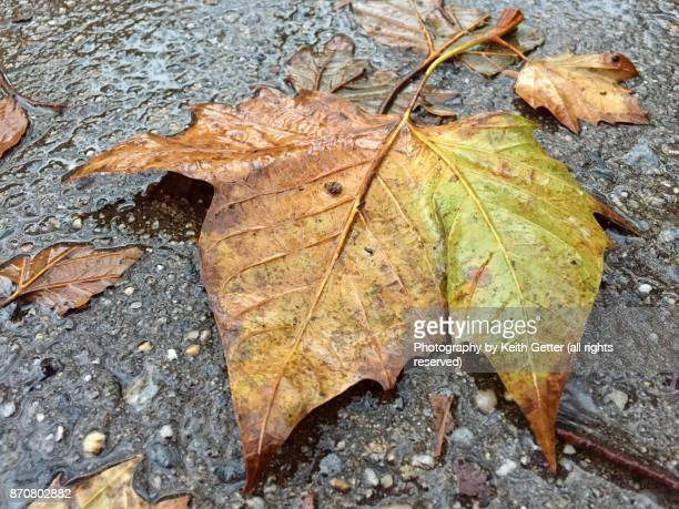 A wet fallen Autumn leaf after a rainstorm