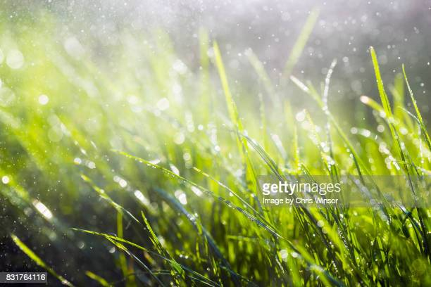 wet grass - grass stock pictures, royalty-free photos & images
