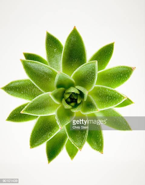 Wet green succulent plant on white