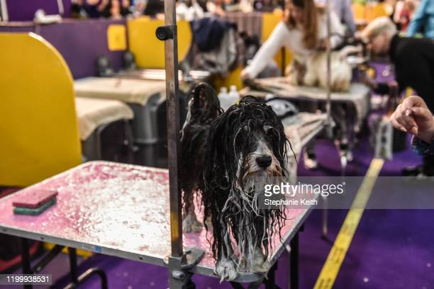 A wet Havanese is seen after a bath during the 144th annual Westminster Kennel Club Dog Show on February 10 2020 in New York City The show brings...