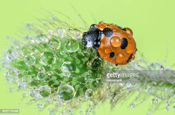 Wet ladybird close up on poppy