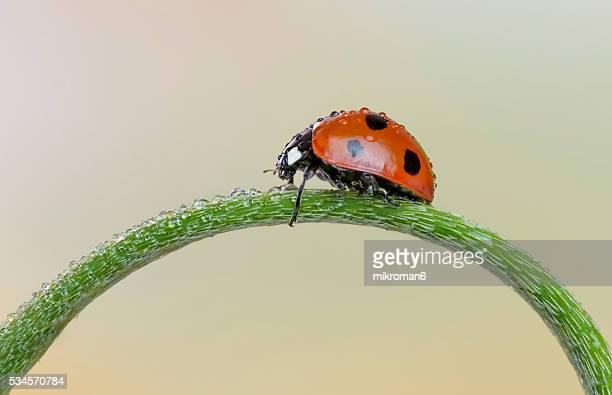 wet ladybird - coccinella foto e immagini stock
