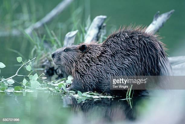 Wet North American Beaver