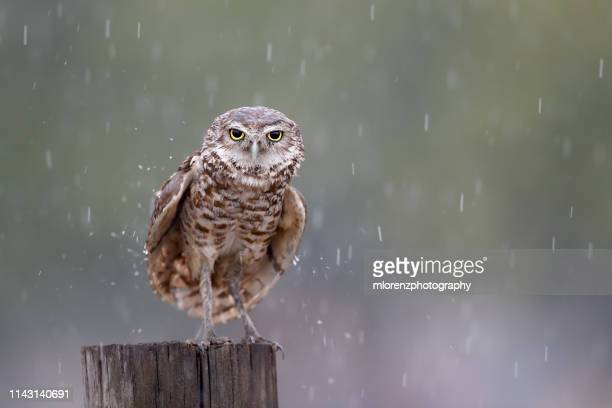 wet owl - southern usa stock photos and pictures