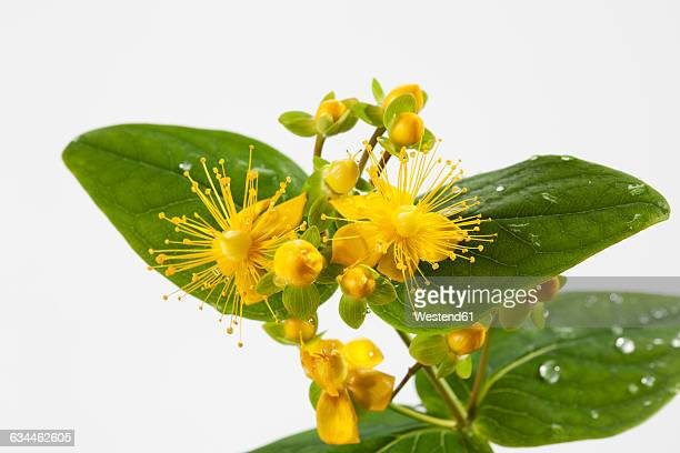 Wet perforate St John's-wort in front of white background, close-up