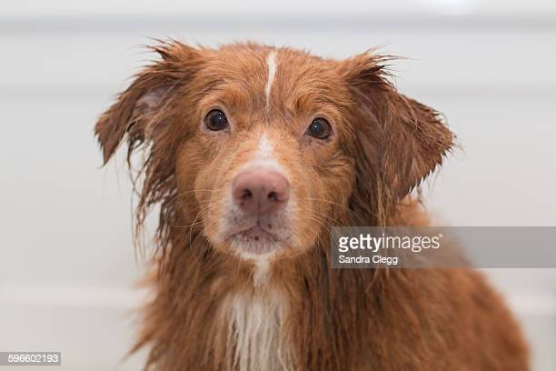 wet pets - nova scotia duck tolling retriever stock pictures, royalty-free photos & images