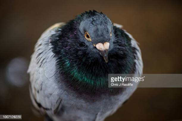 A wet pigeon shelters from rain under a tree in St James' Park as storms bring widespread rain and wind across the country on July 29 2018 in London...