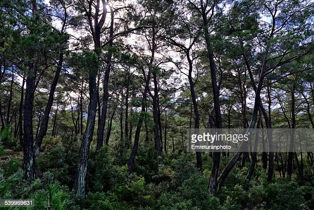 wet pine forest after heavy rain - emreturanphoto stock pictures, royalty-free photos & images