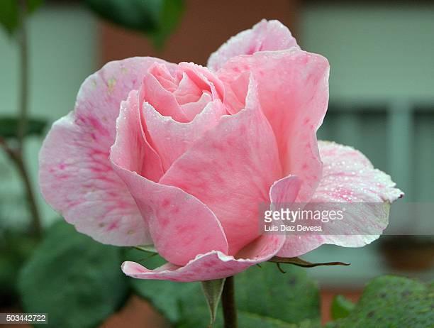 wet pink rose